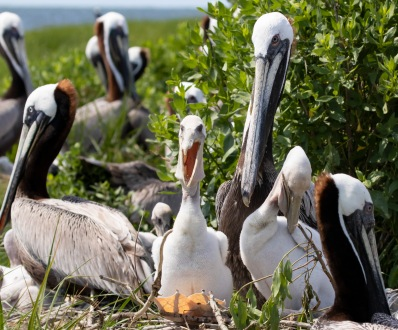 The pelicans could be very noisy