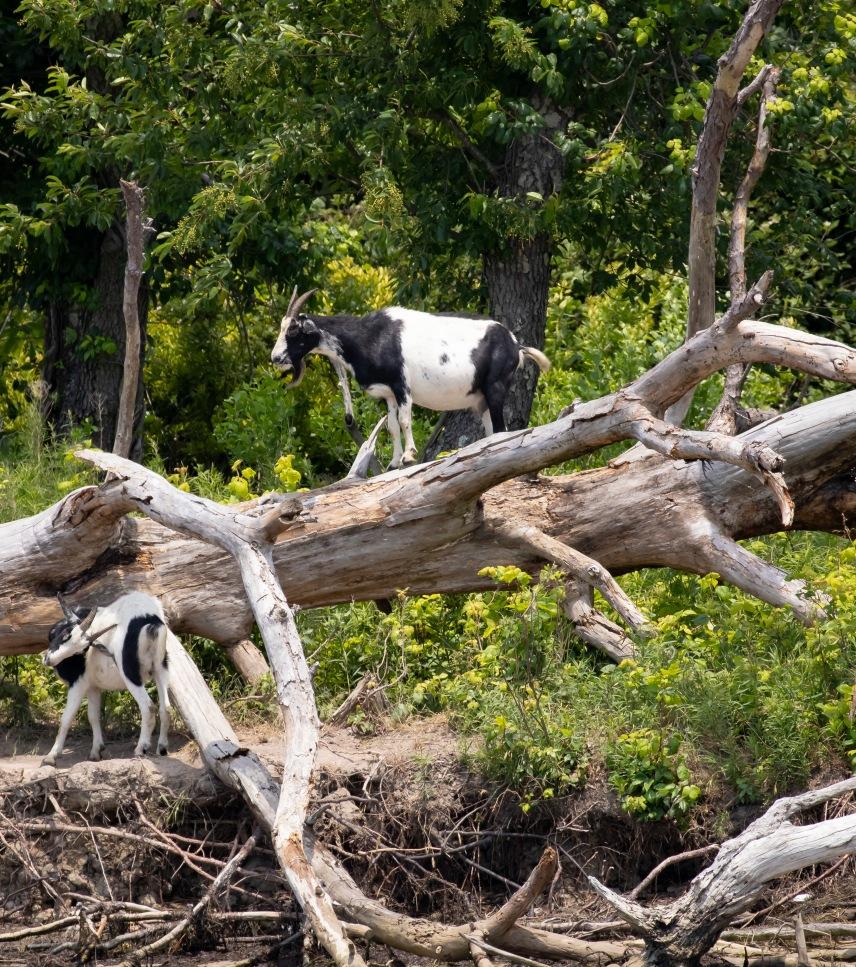 Wild goats climbing trees on Goat Island