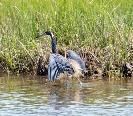 A Tri-Colored Heron stalking fish in the marsh