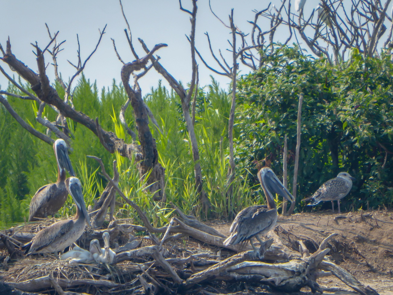 20180727_105828_Pelican babies and parents