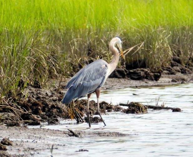 Great Blue Heron along the shore