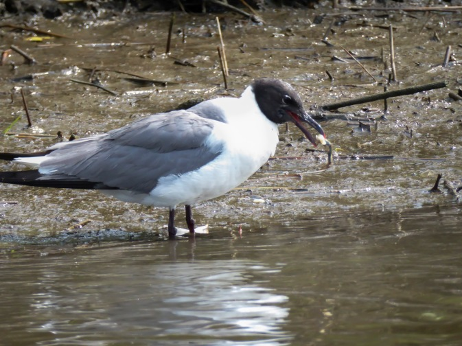 Laughing gull eating a crab