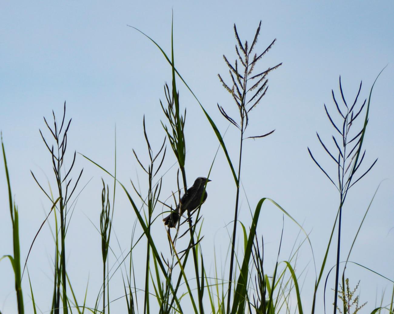20180729_125522_Songbird in the marsh grass