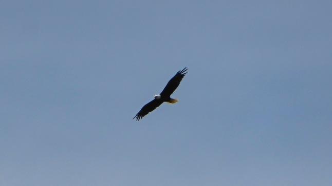 Bald Eagle soaring overhead