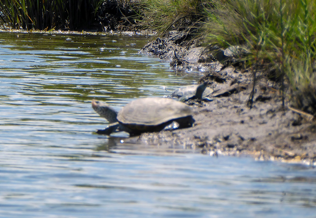 20180704_140450_Turtles along Pikes Creek