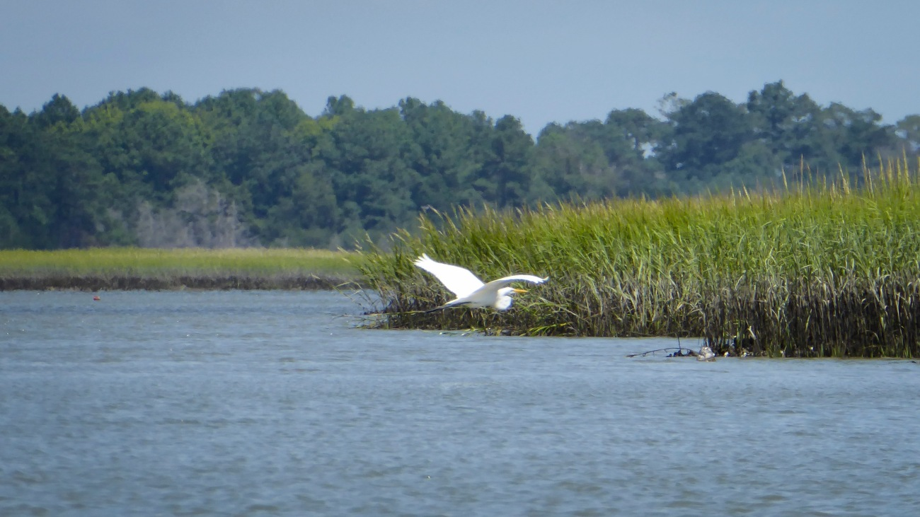 20180825_132141_Great Egret in flight
