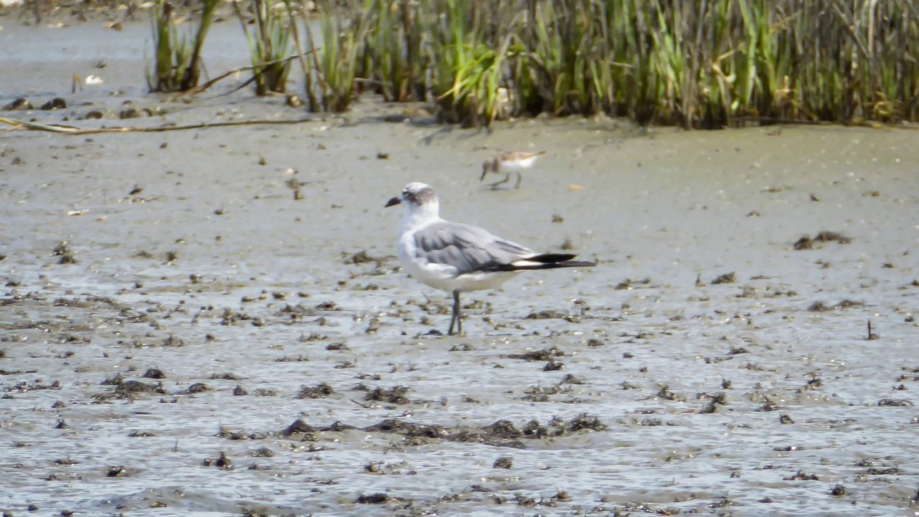 20180825_143108_Non-breeding laughing gull and a least sandpiper
