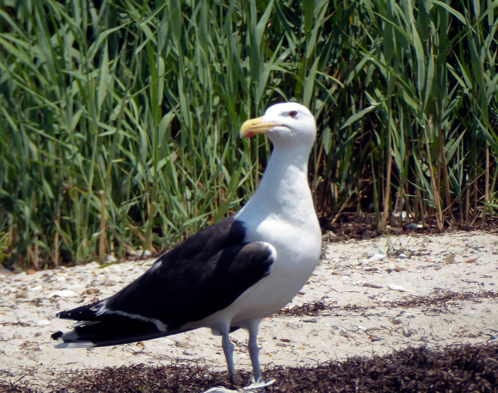 This image has an empty alt attribute; its file name is 20190710_123655_great-black-backed-gull.jpg