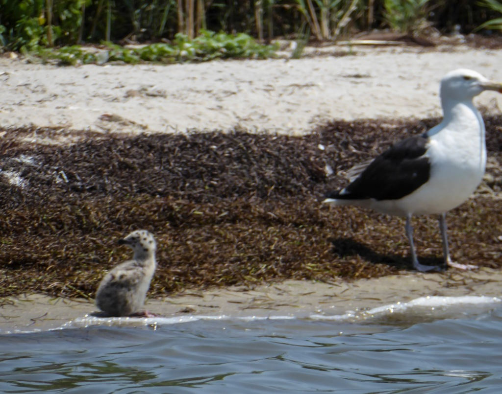 This image has an empty alt attribute; its file name is 20190710_124140_a-possible-black-backed-gull-chick-on-the-shore.jpg