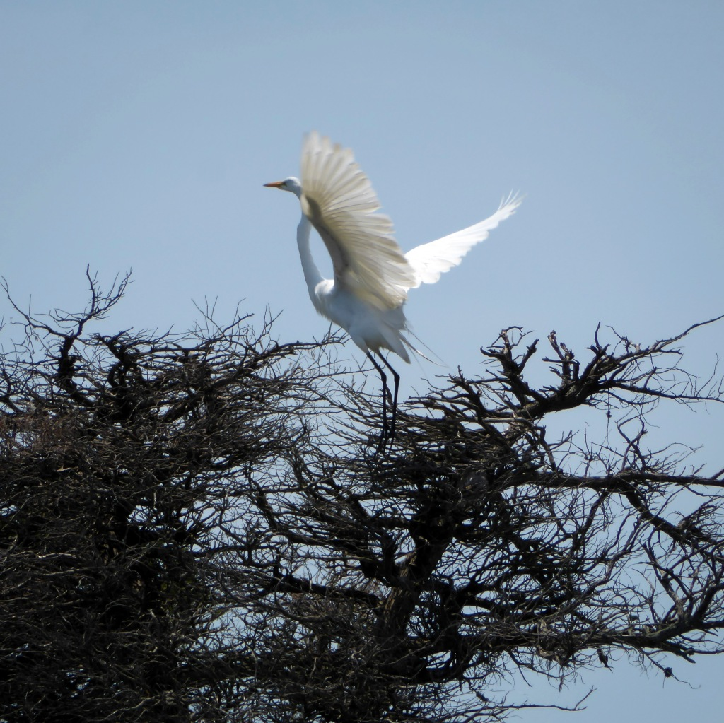 This image has an empty alt attribute; its file name is 20190710_145131_egret-stretching-its-wings.jpg